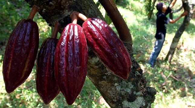 PTPN XII Banyuwangi Hasilkan Produksi Cokelat